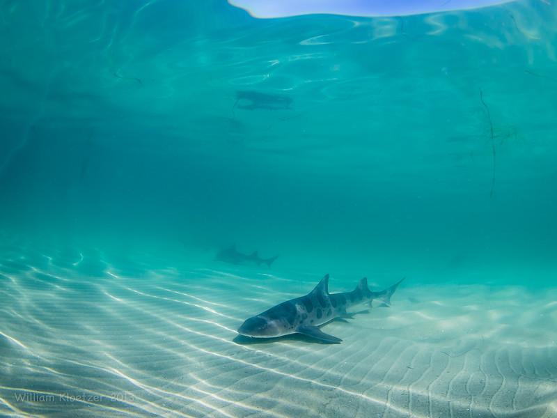 Leopard Shark (Triakis semifasciata) La Jolla Shores