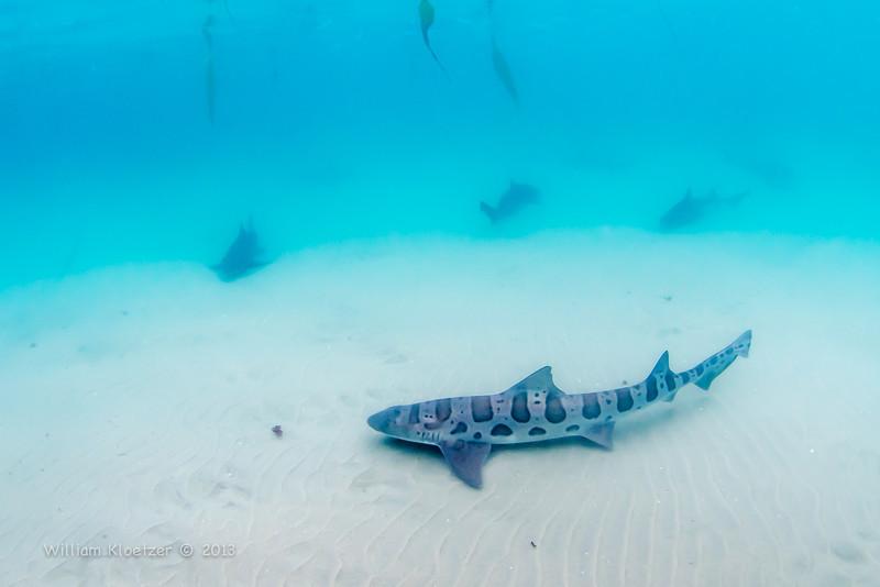 Leopard Shark (Triakis semifasciata) Requiem shark, Marine Room at La Jolla Shores