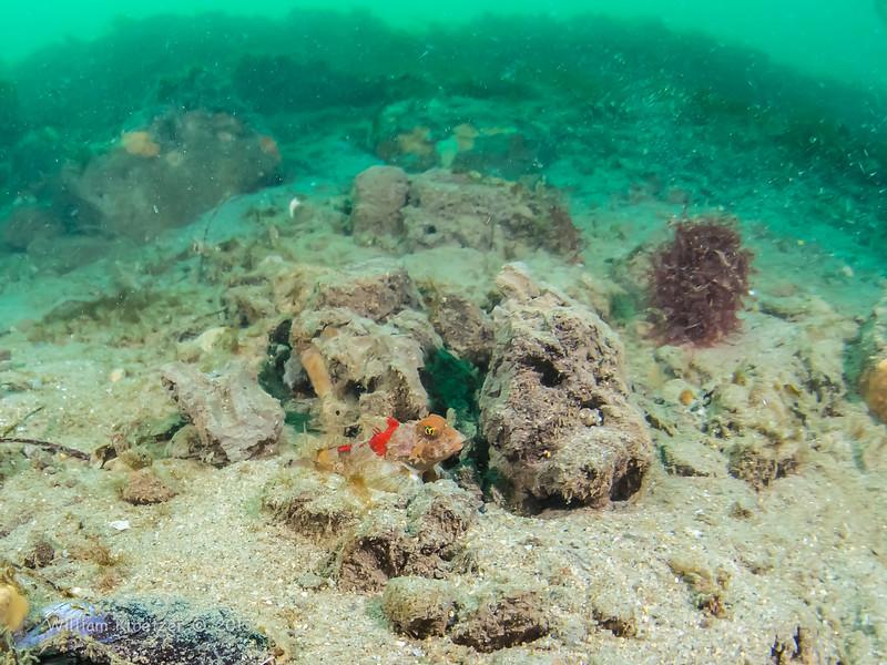 Spotfin Sculpin (Icelinus tenuis) Bulbous, spiny-headed bottom-dwellers, La Jolla Shores