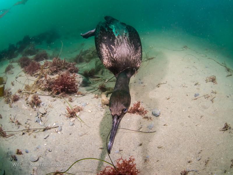 Pelagic Cormorant swimming 60' down at Vallecitos Point (La Jolla Shores)