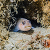Blackeye Goby (Coryphopterus nicholsi) Elongated bottom-dweller, La Jolla Shores