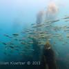 Jack Mackerel (Trachurus symmetricus) Silvery swimmers, La Jolla Cove