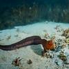 juvenile Wolf-Eel (Anarrhichthys ocellus) bony fish.  La Jolla Shores