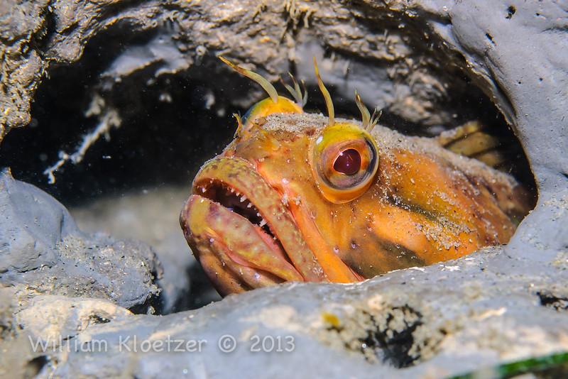 Sarcastic Fringehead (Neoclinus blanchardi) Elongated bottom-dweller, La Jolla Shores