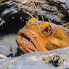 Sarcastic Fringehead (Neoclinus blanchardi) Elongated bottom-dweller, La Jolla Shores