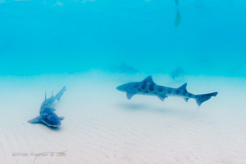 Leopard Shark (Triakis semifasciata) Requiem shark, Marine Room at La Jolla Shores