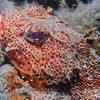 California Scorpionfish (Scorpaena guttata) Bulbous Spiny-headed bottom-dweller, La Jolla Shores
