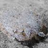 Speckled Sandab