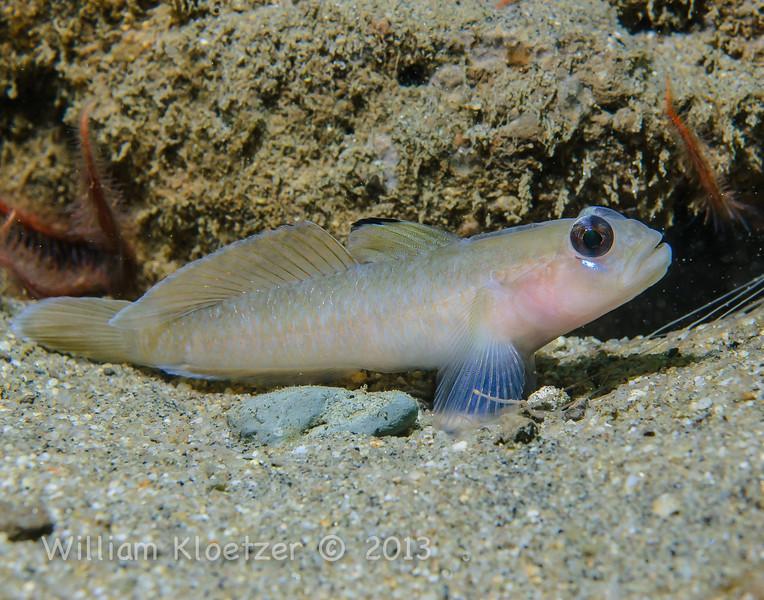 Blackeye Goby (Coryphopterus nicholsi) Elongated bottom-dwellers, La Jolla Shores