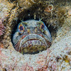 Sarcastic Fringehead (Neoclinus blanchardi) Elongated bottom-dwellers, La Jolla Shores