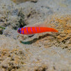 Blue-banded Goby (Lythrypnus dalli) Elongated bottom-dwellers, La Jolla Shores