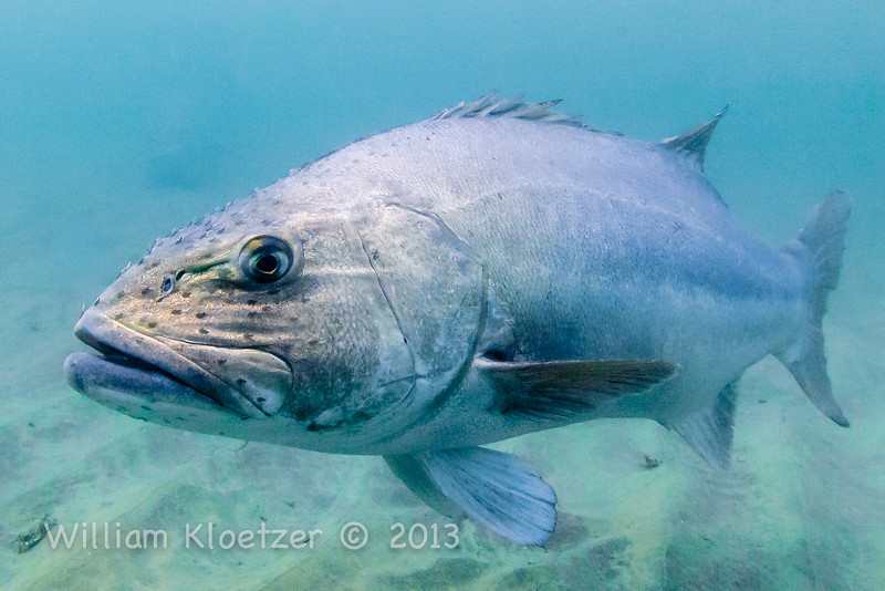 Giant Sea Bass (Stereolepis gigas) Heavy body large lips, La Jolla Shores
