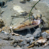 Hornyhead Turbot (Pleuronichthys verticalis) Flatfish bottom-dweller, La Jolla Shores