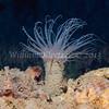 Tube Dwelling Anenome (Pachycerianthus fimbriatus) phylum Cnidaria - class Anthozoa - subclass Hexacorallia, La Jolla Shores