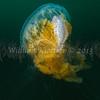 Fried Egg Jelly (Phacellophora camschatica) phylum Cnidaria - class Scyphozoa, La Jolla Shores