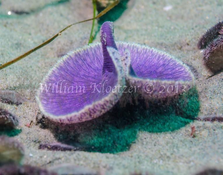 Sea Pansy (Renilla koellikeri) phylum Cnidaria - class Anthozoa - subclass Octocorallia, La Jolla Shores