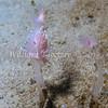 Cumanotus sp. 1 eating a Fairy Palm Hydroid (Corymorpha palma) phylum Cnidaria - class Hydrozoa, La Jolla Shores