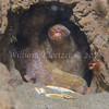 Two-spot Octopus (Octopus bimaculatus) phylum Mollusca - class Cephalopoda - subclass Coleoidea - superorder Octopodiformes, La Jolla Shores
