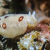 San Diego dorid (Diaulula sandiegensis) phylum Mollusca - class Gastropoda - clade Heterobranchia - clade Nudipleura (dorid nudibranchs), La Jolla Shores