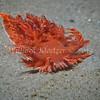 Giant Swimming Nudibranch (Dendronotus iris) phylum Mollusca - class Gastropoda - clade Heterobranchia - clade Nudipleura - clade Nudibranchia (dorid nudibranchs) La Jolla Shores