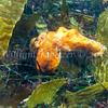 Red Octopus (Octopus rubescens) phylum Mollusca - class Cephalopoda - subclass Coleoidea - superorder Octopodiformes, La Jolla Shores
