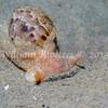 Gould's Bubble Snail (Bulla gouldiana) phylum Mollusca - class Gastropoda - clade Euopisthobranchia, La Jolla Shores