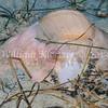 Lewis's Moon Snail (Polinices lewisii) phylum Mollusca - class Gastropoda - clade Caenogastroda, La Jolla Shores