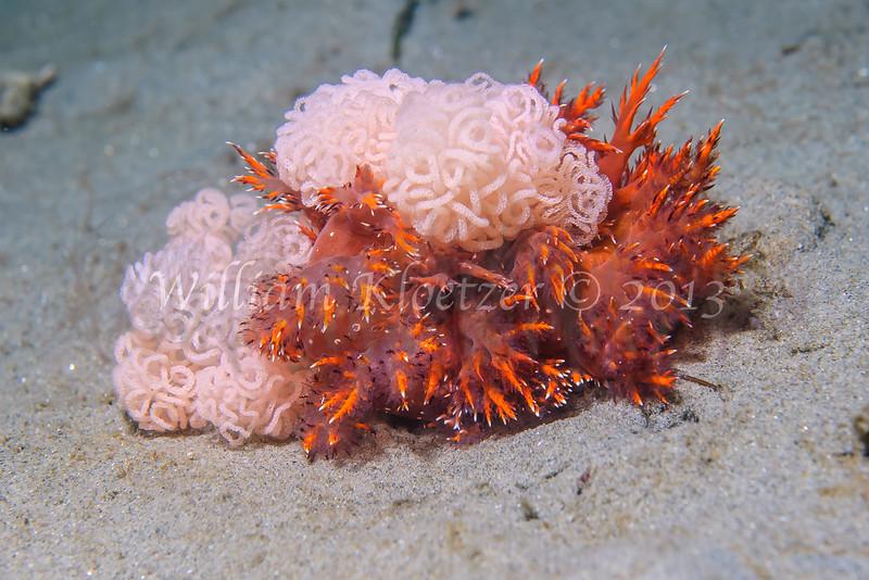 Giant Swimming Nudibranch (Dendronotus iris) phylum Mollusca - class Gastropoda - clade Heterobranchia - clade Nudipleura - clade Nudibranchia (dorid nudibranchs), La Jolla Shores