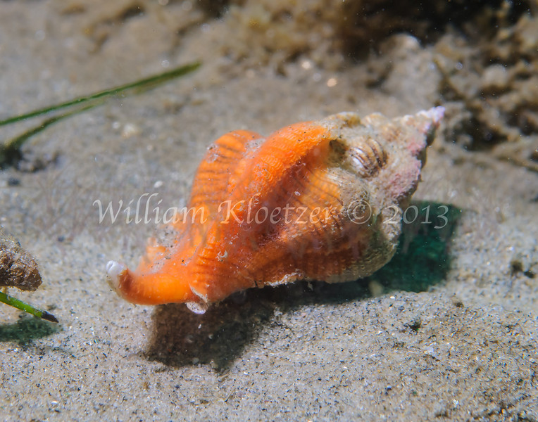 Kellet's Whelk (Kelletia kelletii) phylum Mollusca - class Gastropoda - clade Caenogastropoda, La Jolla Shores
