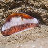 Chestnut Cowry (Neobernaya spadicea) phylum Mollusca - class Gastropoda - clade Caenogastropoda, La Jolla Shores