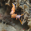 Stearn's Aeolid (Facelina stearnsi) phylum Mollusca - class Gastropoda - clade Heterobranchia - clade Nudipleura (aeolid nudibranchs), La Jolla Shores