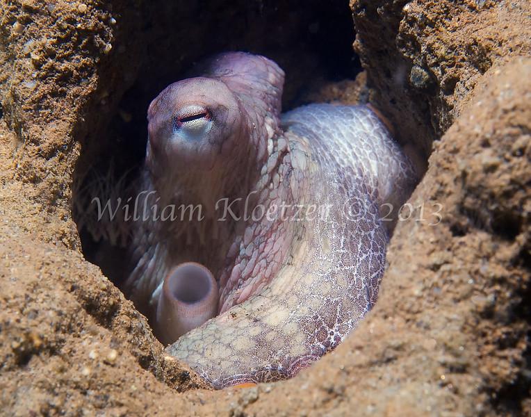 Two-Spot Octopus (Octopus bimaculatus)<br /> phylum Mollusk - class Cephalopod<br /> La Jolla Shores