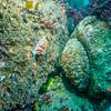 opalescent sea slug (Hermissenda crassicornis)