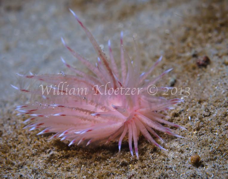 Cumanotus sp. 1 phylum Mollusca - class Gastropoda - clade Heterobranchia - clade Nudipleura - clade Nudibranchia (aeolid nudibranchs) La Jolla Shore
