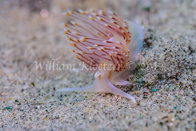 White Dendronotid (Dendronotus albus) phylum Mollusca - class Gastropoda - clade Heterobranchia - clade Nudipleura (Dorid nudibranchs), La Jolla Shores