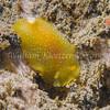 White-spotted Porostome (Doriopsilla albopunctata) phylum Mollusca - class Gastropoda - clade Heterobranchia - clade Nudipleura - clade Nudibranchia (dorid nudibranchs), La Jolla Shores