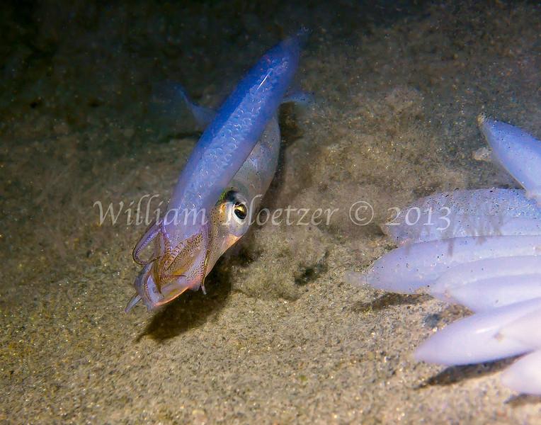 California Market Squid (Loligo opalescens) phylum Mollusca - class Cephalopoda - subclass Coleoidea - superorder Decapodiformes La Jolla Shores