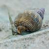 Nassarius perpinguis snail phylum Mollusca - class Gastropoda - clade Caenogastropoda, La Jolla Shores