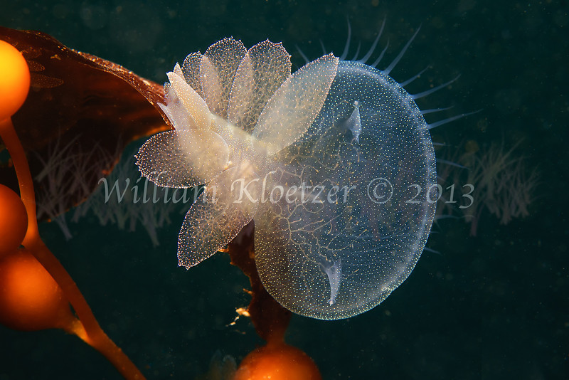 Lion's Mane Nudibranch (Melibe leonina) phylum Mollusca - class Gastropoda - clade Heterobranchia - clade Nudipleura, La Jolla Shores