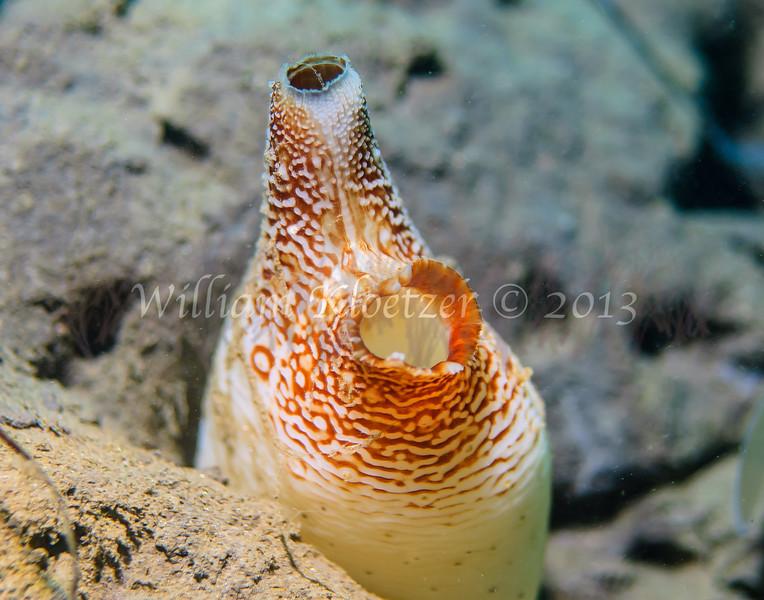 Piddock (Penitella penita) phylum Mollusca - class Bivalvia La Jolla Shores