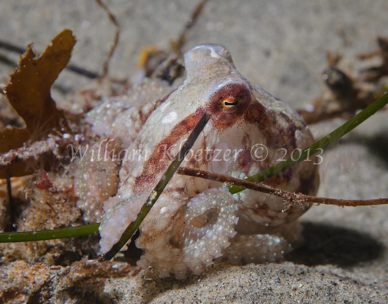 Red Octopus (Octopus rubescens) phylum Mollusca - class Cephalopoda - subclass Coleoidea - superorder Octopodiformes La Jolla Shores