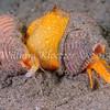 Carpenter's Turrid (Megasurcula carpenteriana) phylum Mollusca - class Gastropoda - clade Caenogastropoda, La Jolla Shores