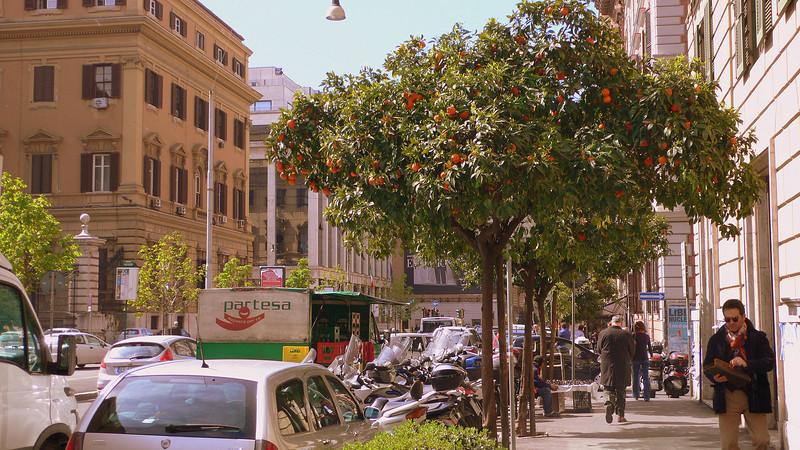 An fruit-filled orange tree on a public street in Rome.