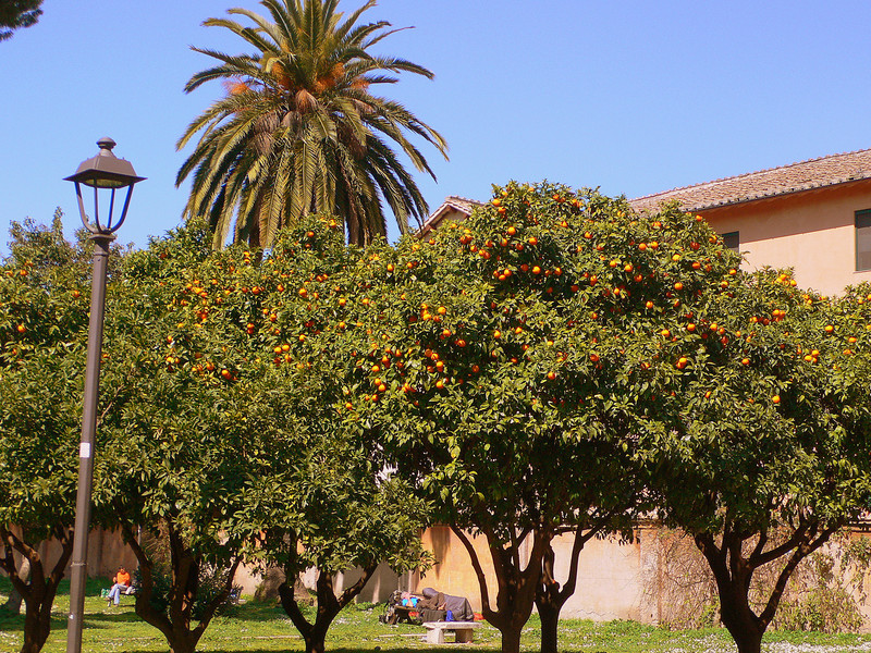 An orange grove by the Santa Sabina. Orange trees seem to be quite popular in Rome. Public streets are often lined with them, although the fruit at an easy picking height is usually absent.