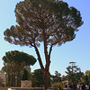 An Italian Stone Pine on the grounds of the Vatican Museum.