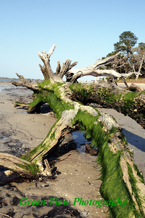 Moss Covered Tree on Drift Wood Beach
