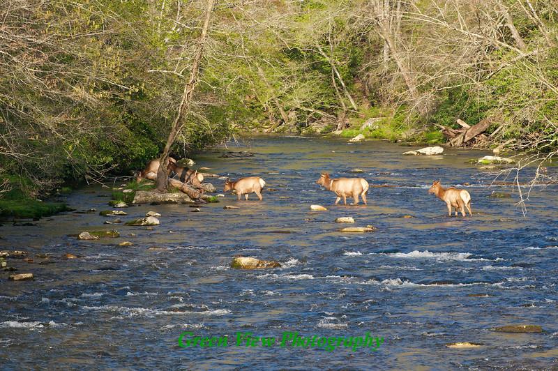 Elk in Oconaluftee River