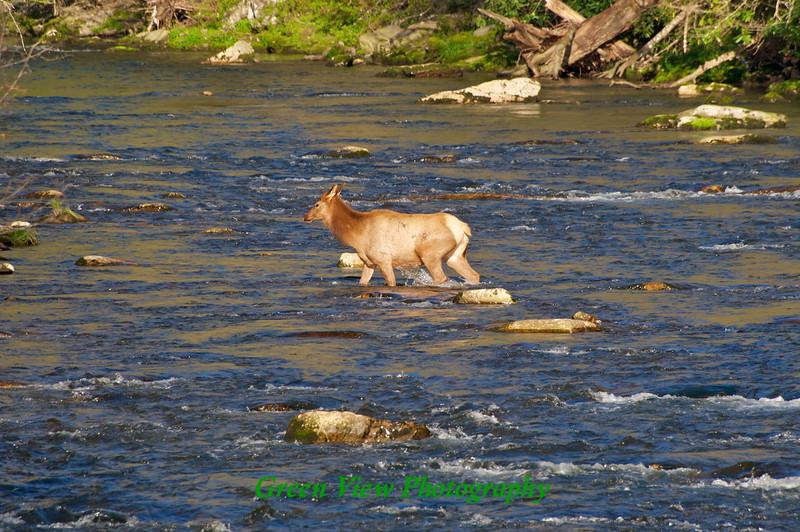 Elk cooling off in Oconaluftee River