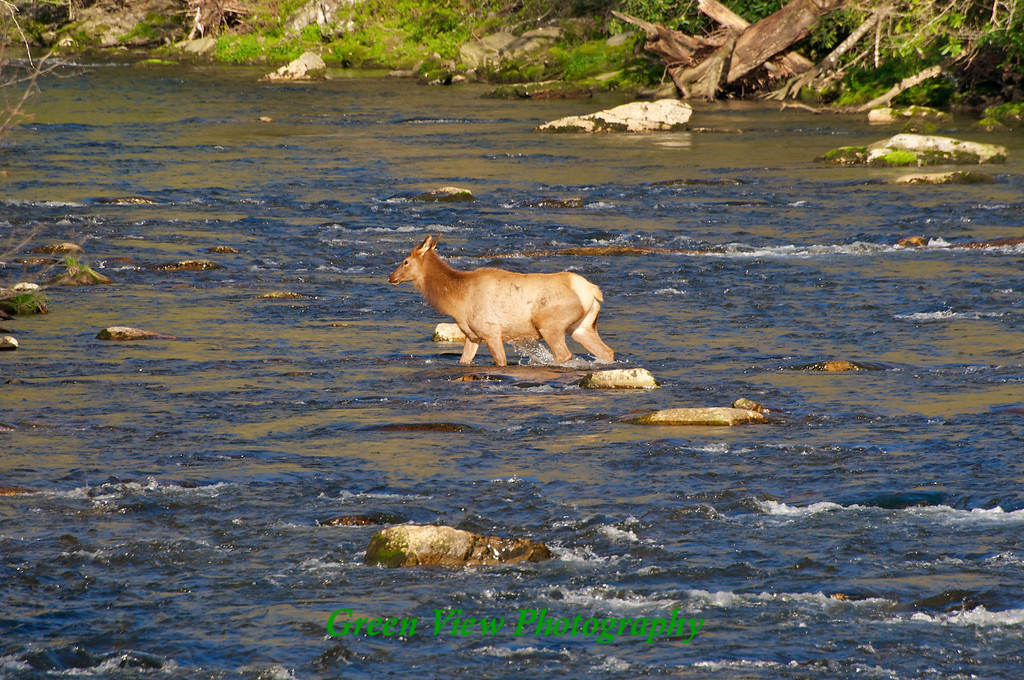 Elk cooling off in Oconaluftee River