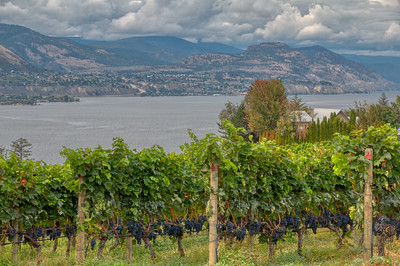 Vineyard, Naramata Bench, BC